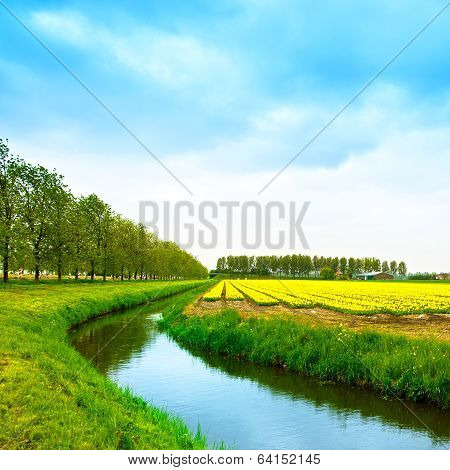 Tulip Yellow Blosssom Flowers Field In Spring, Canal And Trees. Holland Or Netherlands.