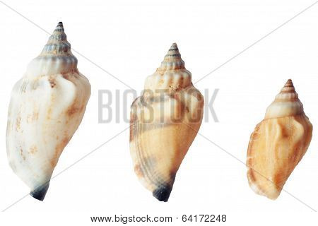 Three Seashells On White Background