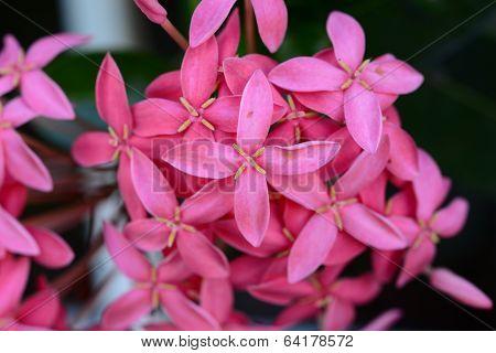 Pink Ixora