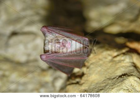 greater horseshoe bat rhnolophus ferrumequinum