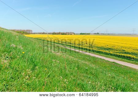 Photo Of Canola, Rapeseed Flower