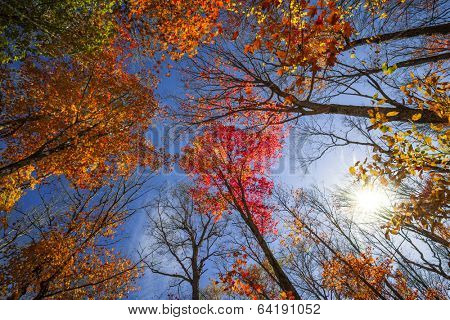 Colorful autumn treetops in fall forest with blue sky and sun shining though trees. Algonquin Park, Ontario, Canada.