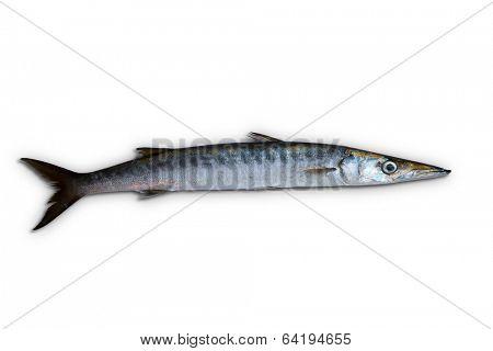 Barracuda fish Sphyraena isolated on white background