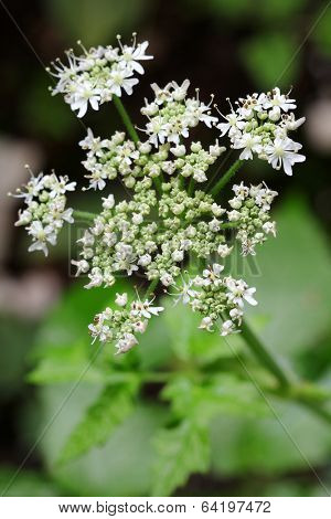 Caraway plant with white flowers showing pollens