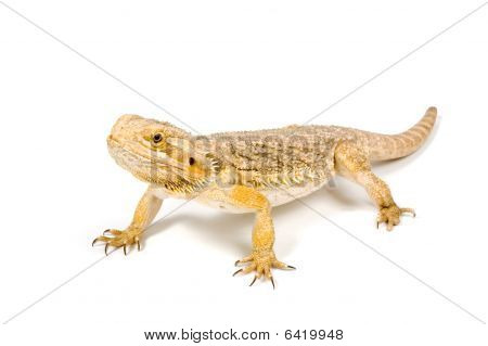 Orange Headed Bearded Dragon (pogona Vitticeps) Isolated On White