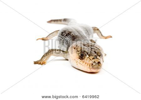 Pink-tongue Skink (hemisphaeridon Gerrardi) Isolated On A White Background