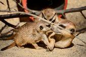 picture of nurture  - Suricate or meerkat is nurturing the young - JPG