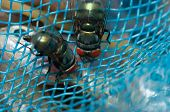 picture of blowfly  - Fly on blue net show insect on blue net - JPG