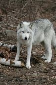 pic of north american gray wolf  - North American Grey Wolf in early spring setting - JPG