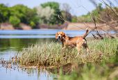 picture of bloodhound  - Beagle - JPG
