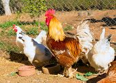 stock photo of hen house  - Rooster and hens in the hen house poultry - JPG