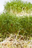 foto of alfalfa  - Fresh alfalfa sprouts and cress on white background - JPG