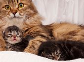 foto of tame  - Lovely siberian cat with newborn kitten close-up