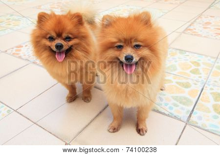 Close Up Face Of Two Male Pomeranian Dog Standing And Watching To Camera