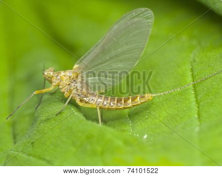 Mayfly, Close-up