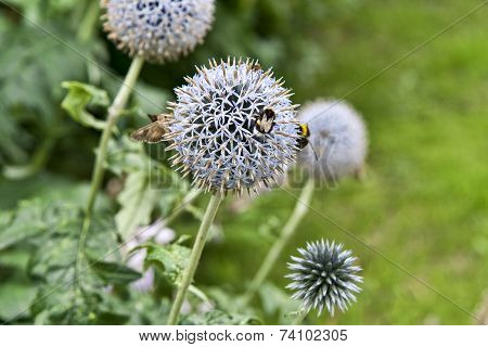 Bumblebees On A Flower