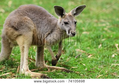 The red kangaroo baby (Macropus rufus)