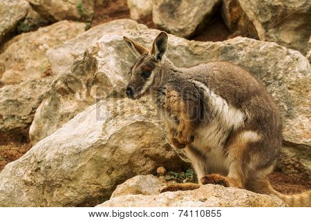 Australian Rock Wallaby