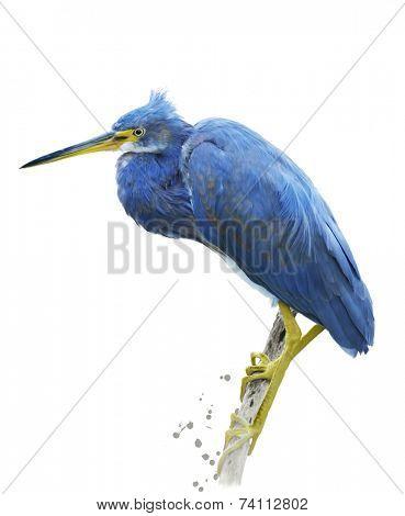 Little Blue Heron.Digital Painting