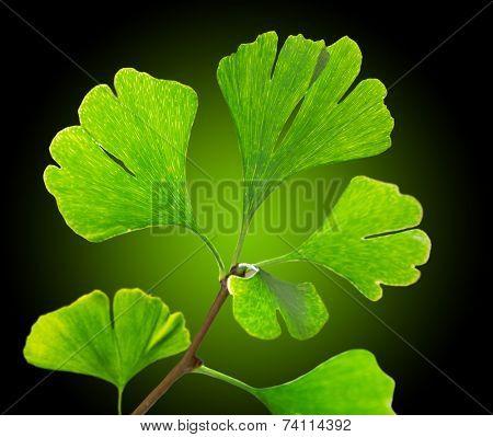 Green ginkgo biloba, close-up.