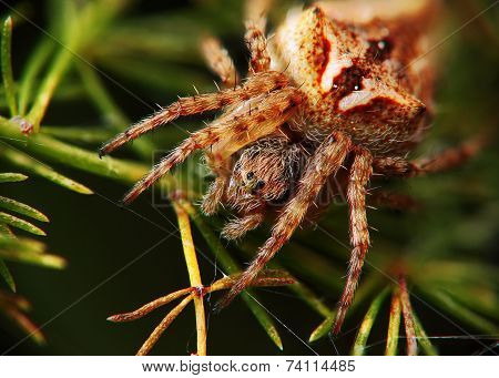 Spider waiting for the kill
