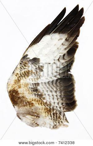 Detail of Hawk Wing