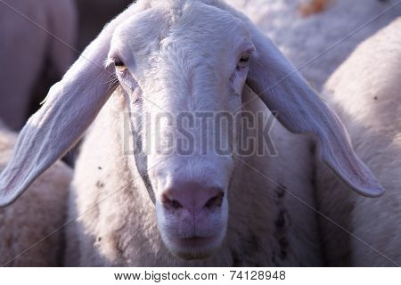 Close Up Of Sheep Snout