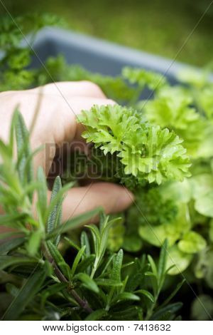 Rosemary, Parsley And Sage
