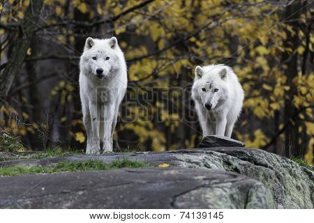 Arctic Wolf in the wilderness