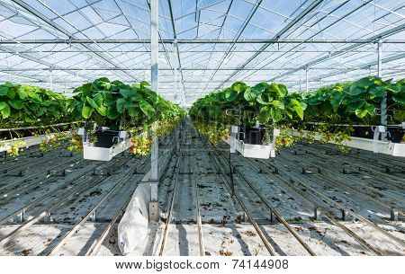 Hydroponic Strawberry Cultivation In A Glasshouse