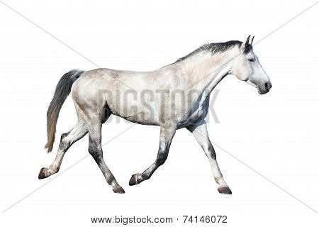 White Horse Trotting Isolated On White Background