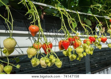 Ripening Strawberries Of Hydroponically Cultivated Plants From Close