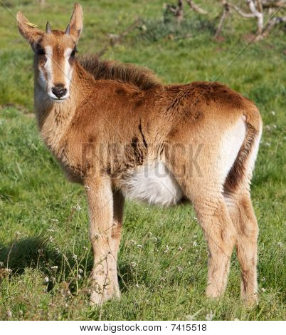 Young Roan Antelope