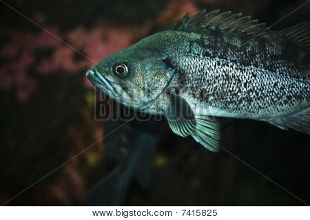 Rockcod fish