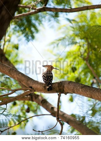Beautiful Eurasian Hoopoe (upupa Epops) Sitting In A Tree In Bhutan