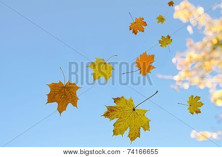 Maple Leaves Against The Sky
