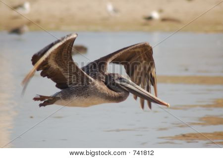 Endangered Brown Peligan