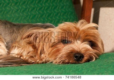 Cute Yorkshire Terrier