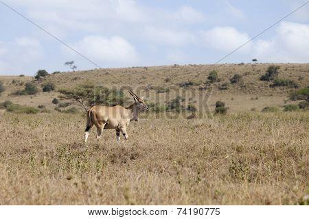 Wild eland in natural habitat in Kenya