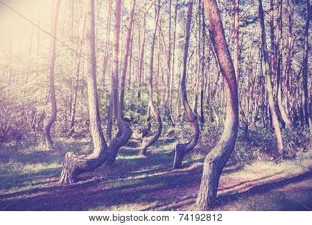Vintage Style Picture Of Crooked Forest, Poland.