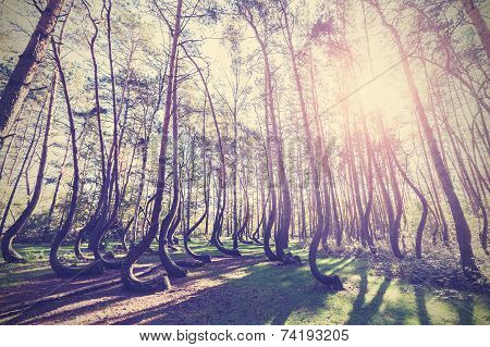 Vintage Style Picture Of Crooked Forest, Gryfino In Poland.