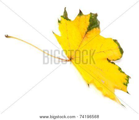 Yellowed Autumn Maple Leaf