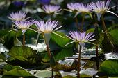 picture of hydrophytes  - Closeup of beautiful violet water lilies on green background.