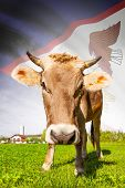 stock photo of samoa  - Cow with flag on background series  - JPG
