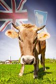 image of falklands  - Cow with flag on background series  - JPG