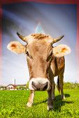 stock photo of guam  - Cow with flag on background series  - JPG