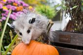 foto of opossum  - A Baby Opossum Playing in the garden - JPG