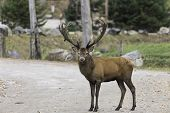pic of bambi  - A single male elk in the woods during fall - JPG