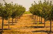 stock photo of orchard  - California Organic Orchards. Orchard Lane in Summer Season.