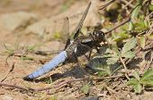 stock photo of broad-bodied  - Broad-bodied Chaser Dragonfly - Libellula depressa